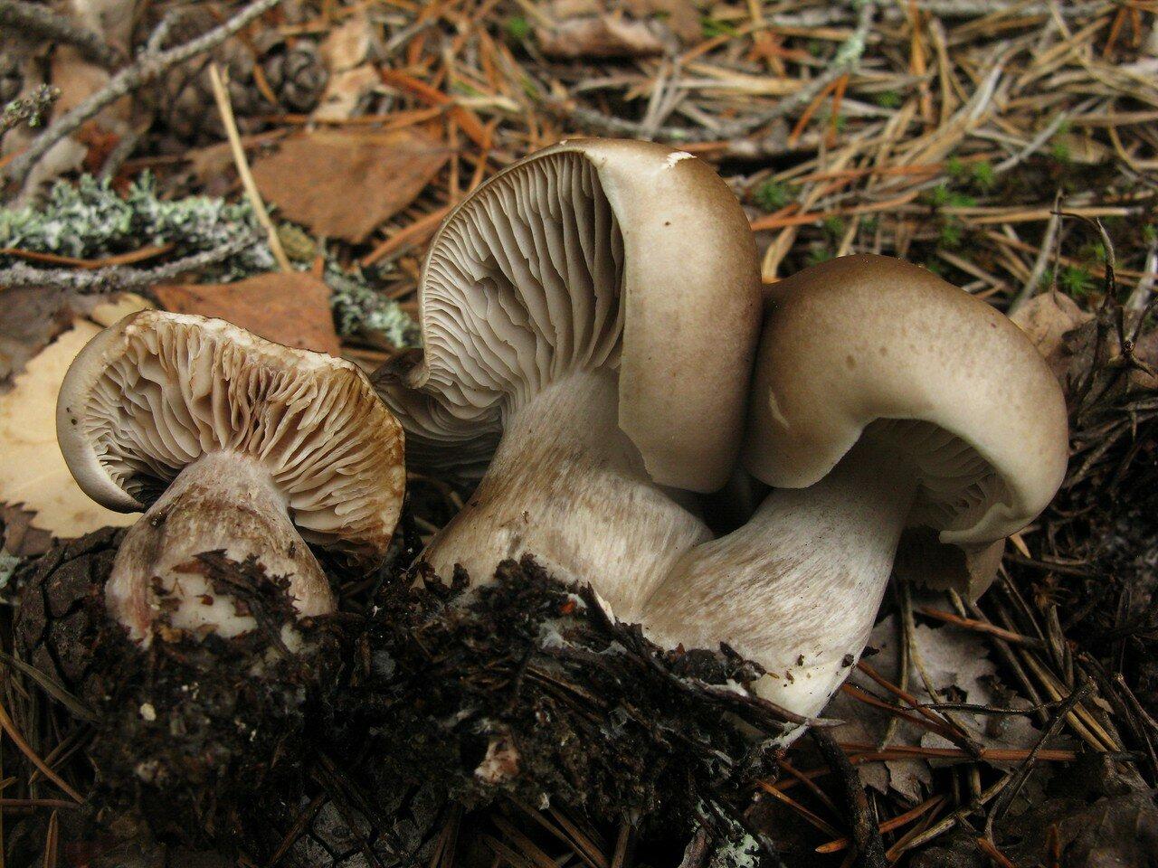 Рядовка мыльная (Tricholoma saponaceum). Автор фото: Станислав Кривошеев