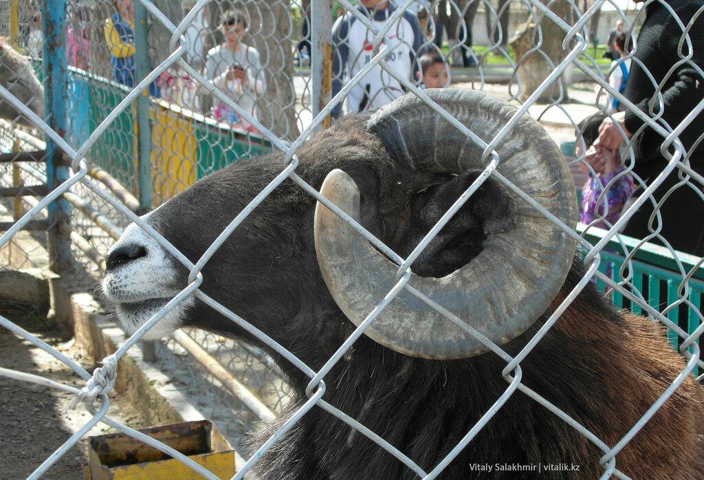Архар в зоопарке Шымкента
