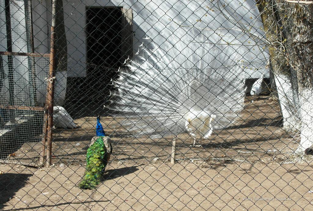 Белый павлин в зоопарке Шымкент