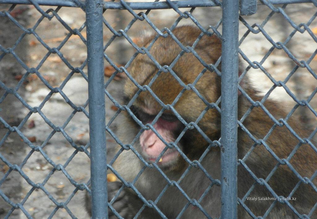 Обезьяна в зоопарке Шымкента