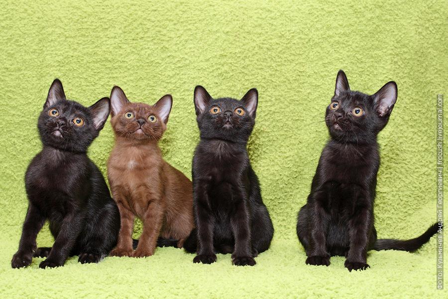 фотографии Бомбейские котята