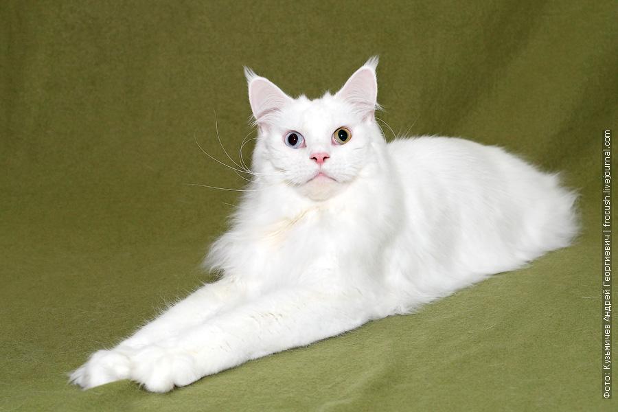 кот Мейн-кун белый