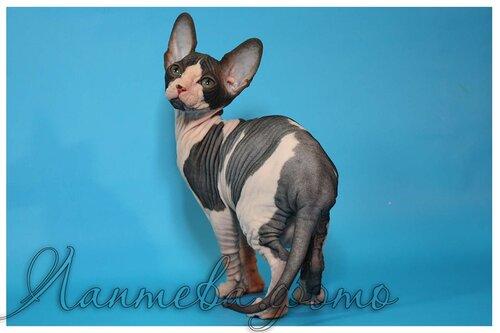Лаптева-фото - Фотографии животных для питомников и заводчиков 0_fa327_a87c5765_L