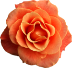 Holliewood_RoseIsARose_Rose22.png