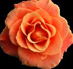 Holliewood_RoseIsARose_Rose22.png