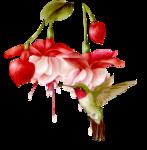 64798450_fuksiya_kolibri_bf.png