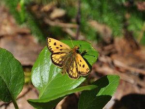 s:бабочки,c:оранжевые,c:кремовые