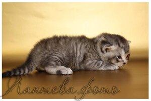 черный серебристый пятнистый британский короткошерстный кот