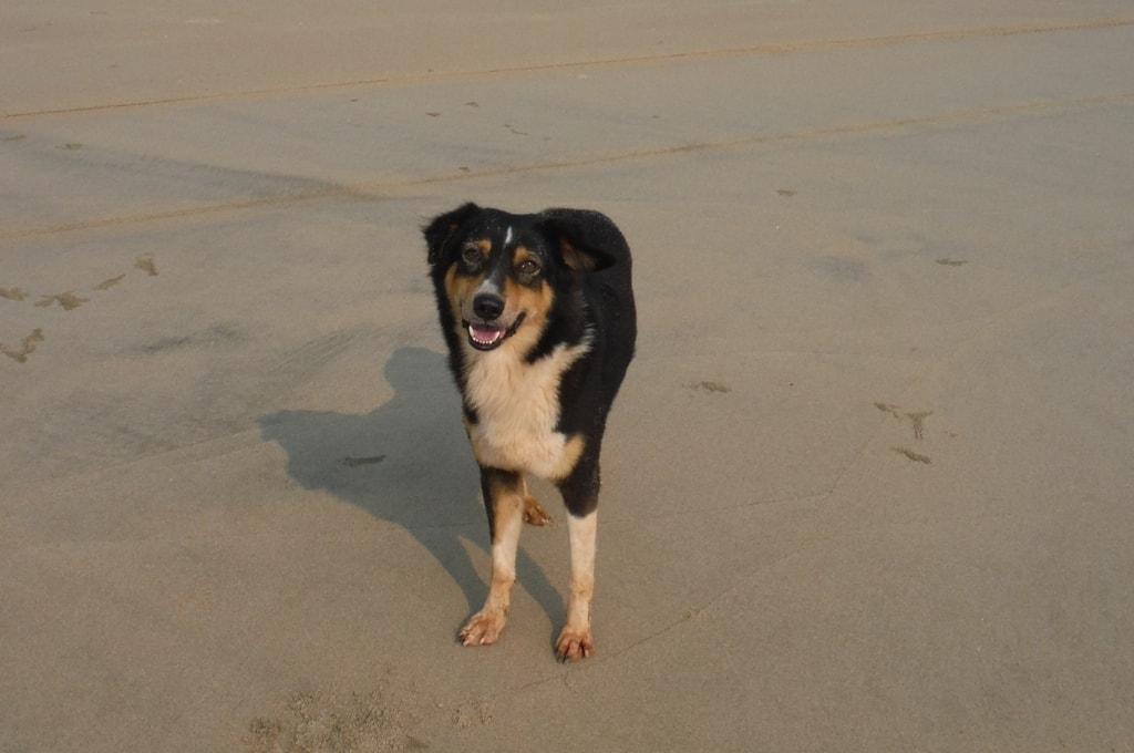 Индийская пляжная собака