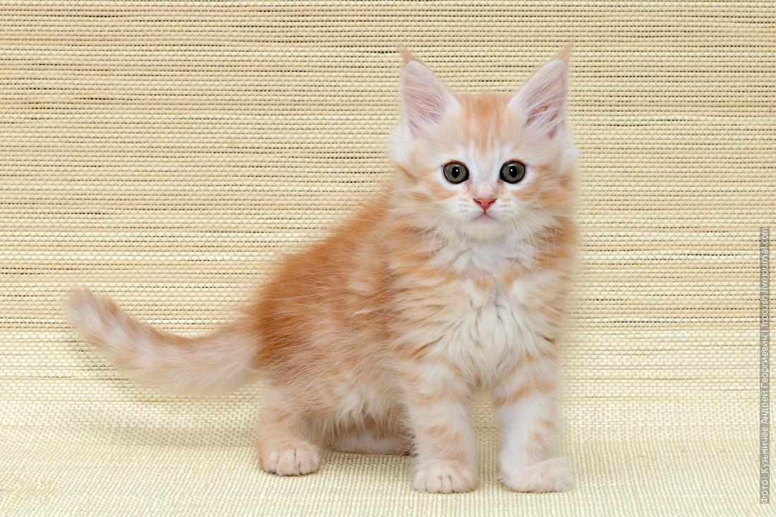 мейн кун котенок цена купить в москве