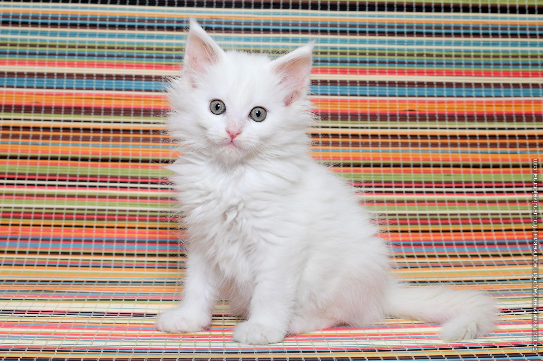 продажа в Москве Мейн-кун котенок