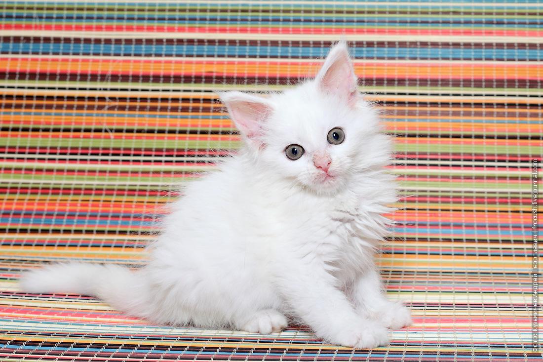 Мейн-кун котенок