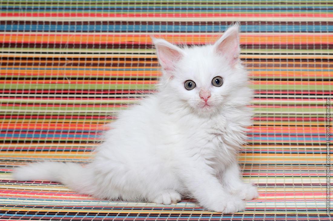 продажа в Москве из питомника Мейн-кун котенок