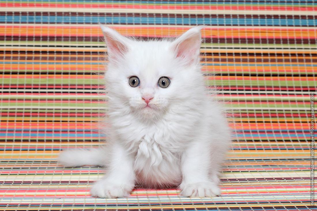 Мейн-кун котенок из питомника