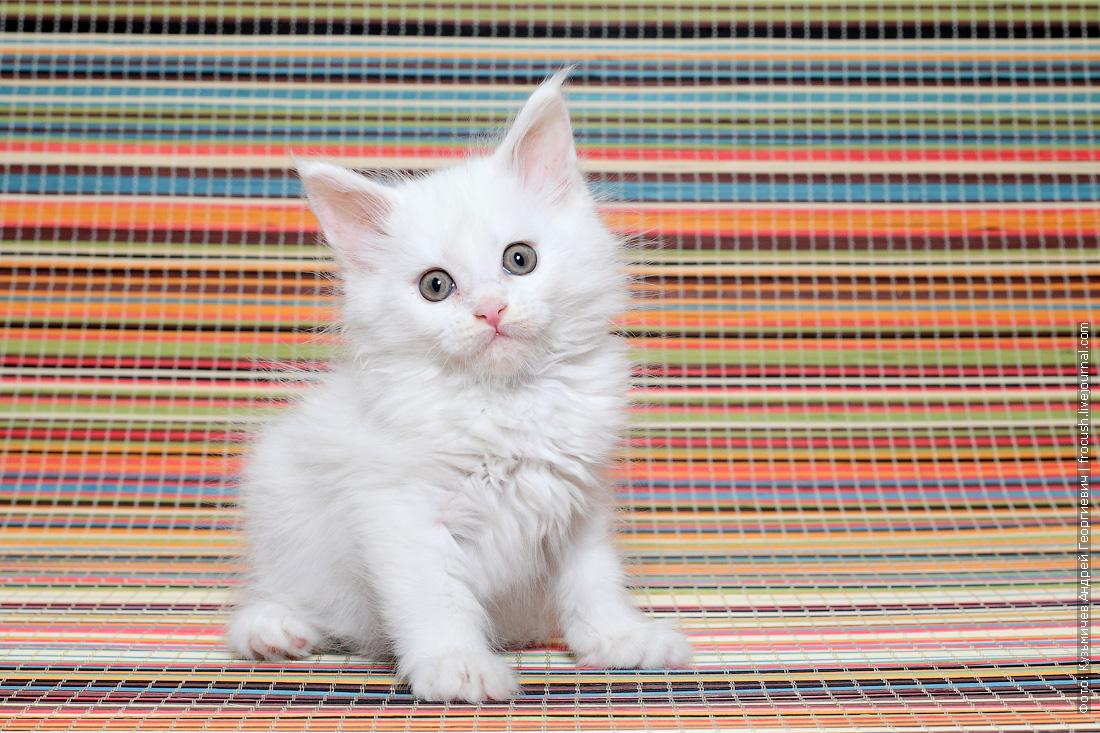 бронировать Мейн-кун котенок