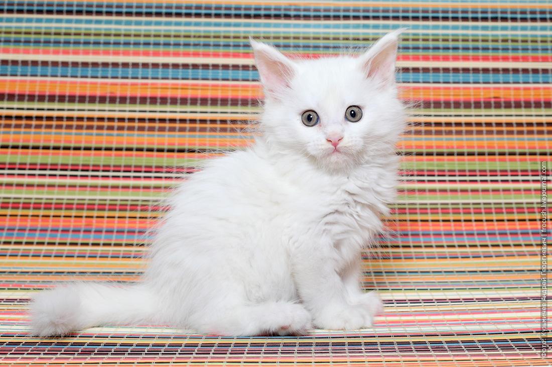 забронировать Мейн-кун котенок