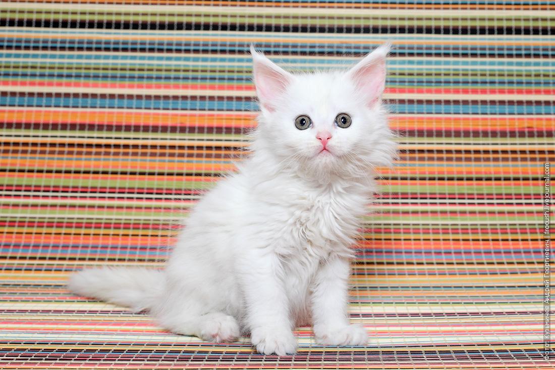Мейн-кун котенок купить из питомника в Москве