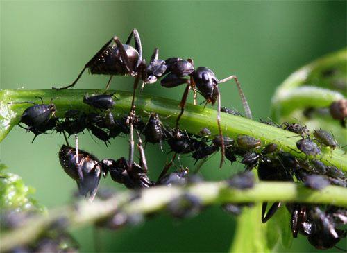 Избавляемся от тли и муравьев без химии