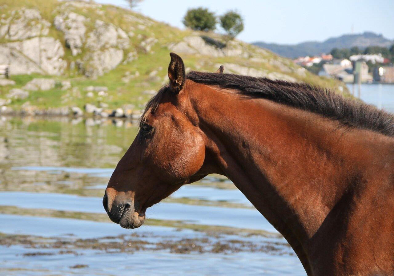 Авалдснес. Исландская лошадь