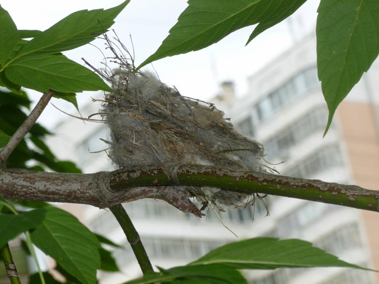 Maroosya nest