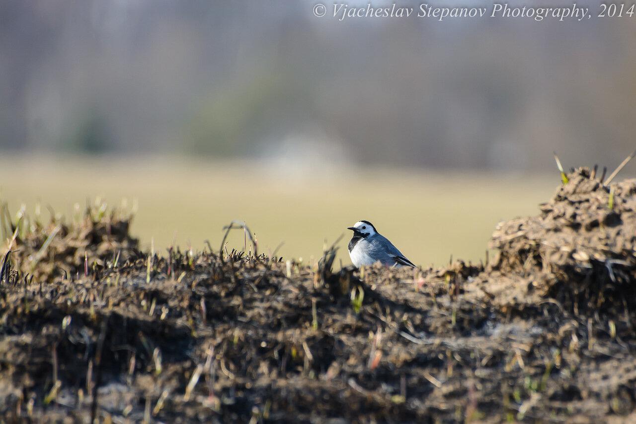 Белая трясогузка (Motacilla alba). Автор фото: Вячеслав Степанов