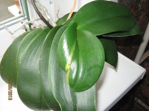 пятна на листе орхидеи фаленопсис