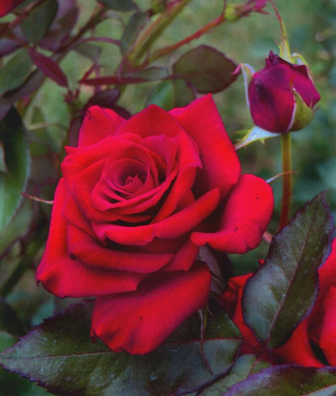 королевская роза картинка представленных этом
