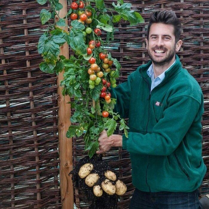 Помидоры и картофель в одном горшке и без ГМО! Верите?