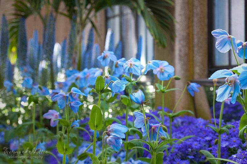 Голубые маки в садах Дюпона_9946-Viktoria Mullin