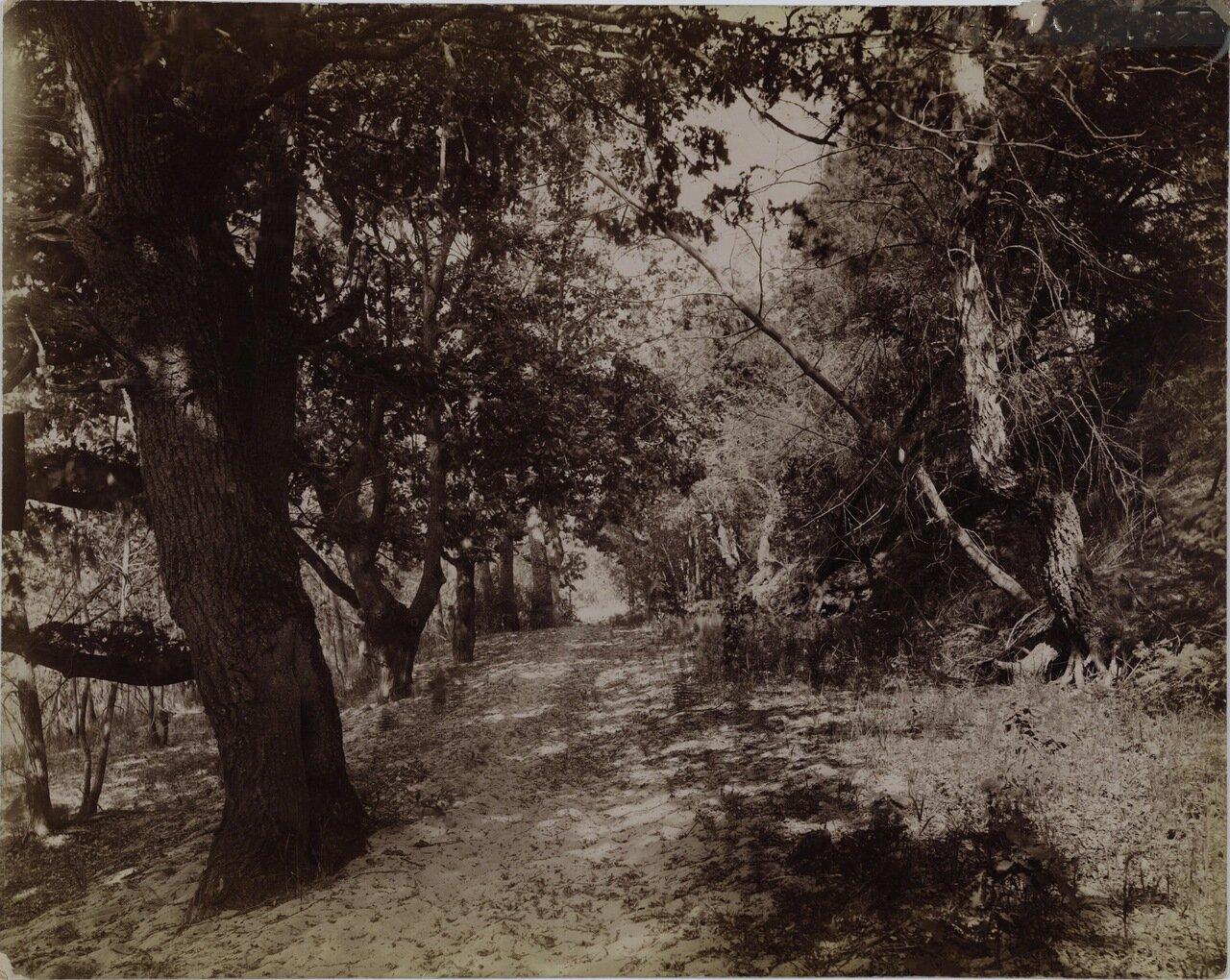 Запущенная дубовая аллея. 1892.