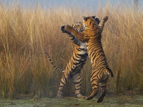 Открытки Всемирный день дикой природы. Тигры