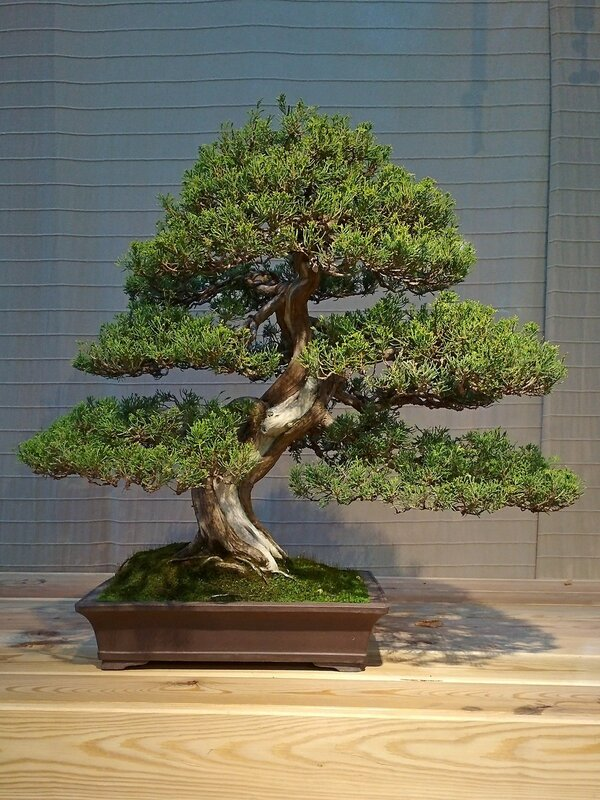 Можжевельник китайский (Juniperus chinensis Itoigawa), возраст около 60 лет - Выставка бонсай в Аптекарском огороде