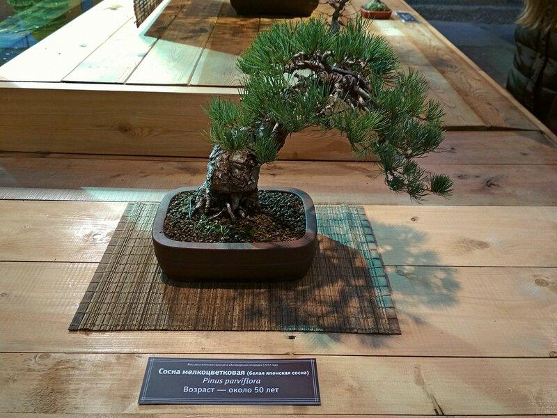 Сосна мелкоцветковая, белая японская сосна (Pinus parviflora), возраст около 50 лет - Выставка бонсай в Аптекарском огороде