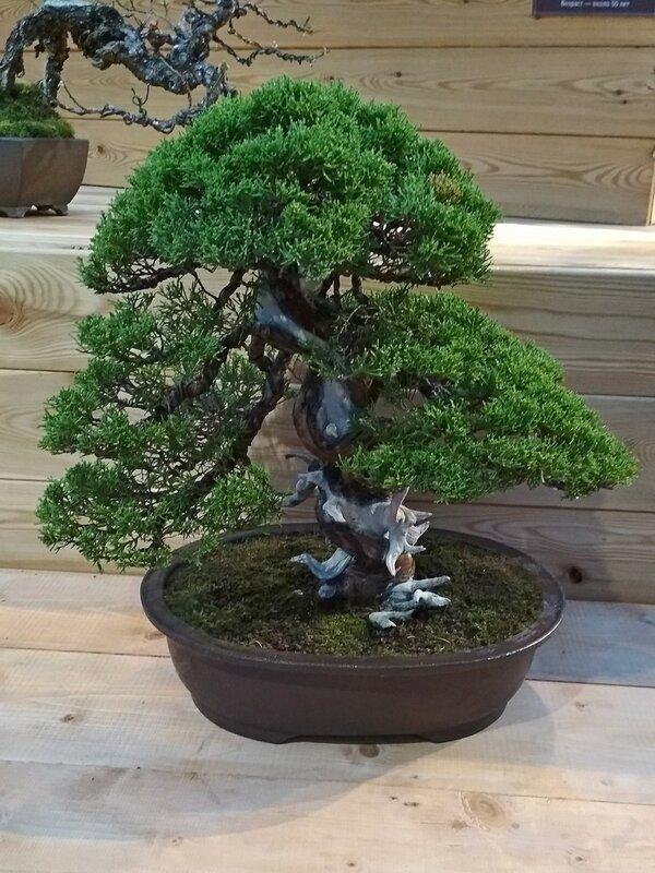 Можжевельник китайский (Juniperus chinensis Itoigawa), возраст около 50 лет - Выставка бонсай в Аптекарском огороде