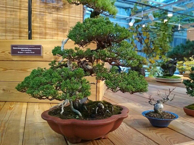 Можжевельник китайский (Juniperus chinensis) - Выставка бонсай в Аптекарском огороде