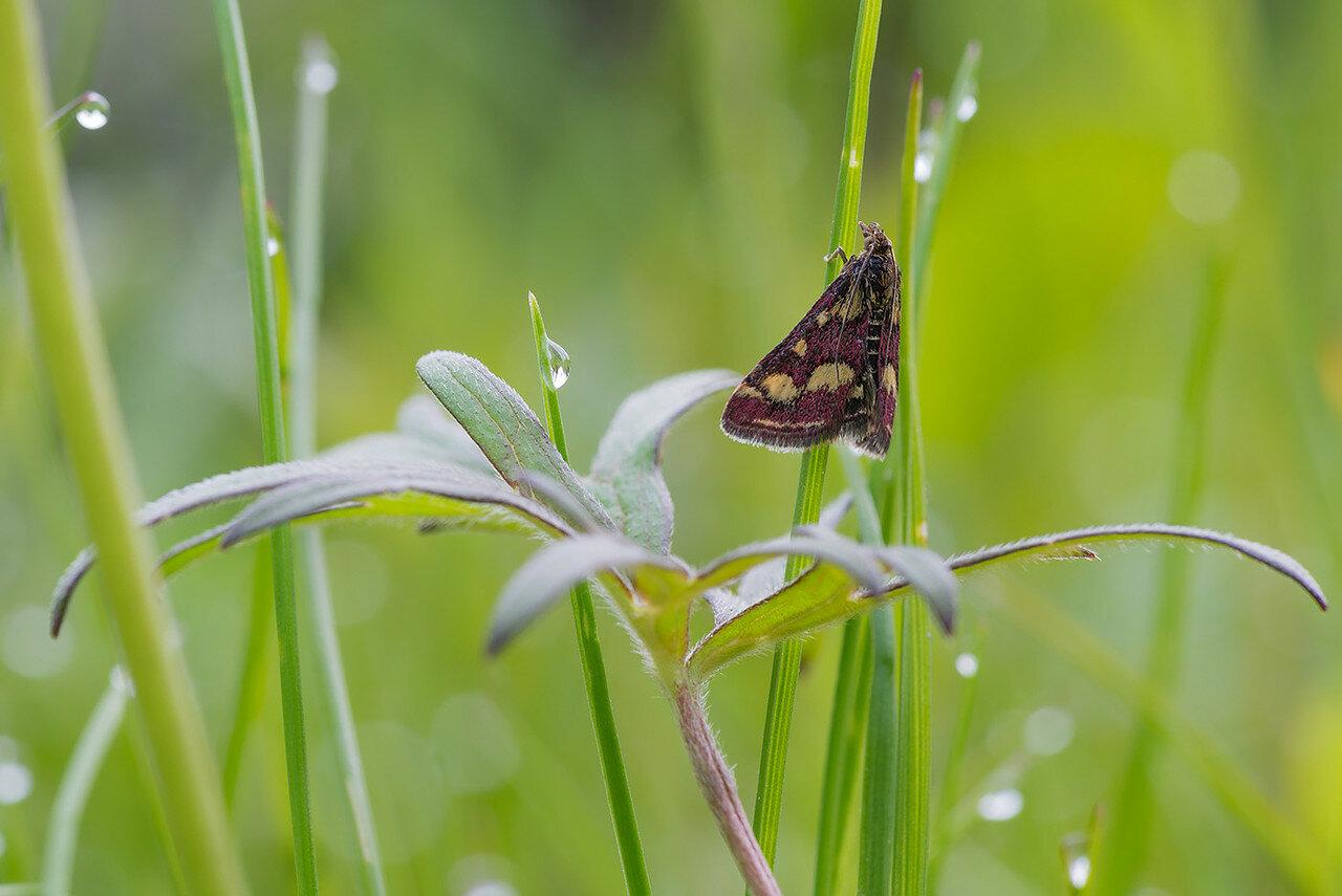 Огнёвка пурпурная (Pyrausta purpuralis) Автор фото: Владимир Брюхов