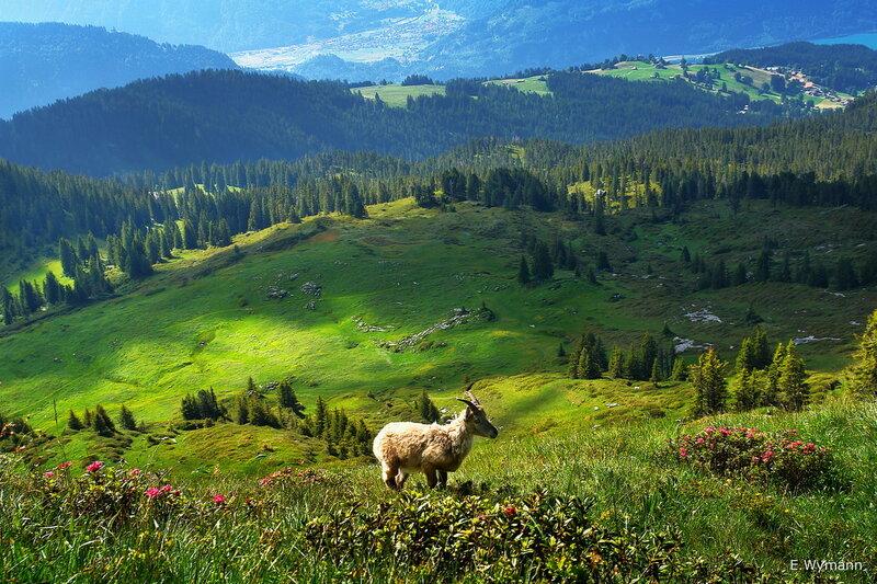 козленок в альпийском пейзаже