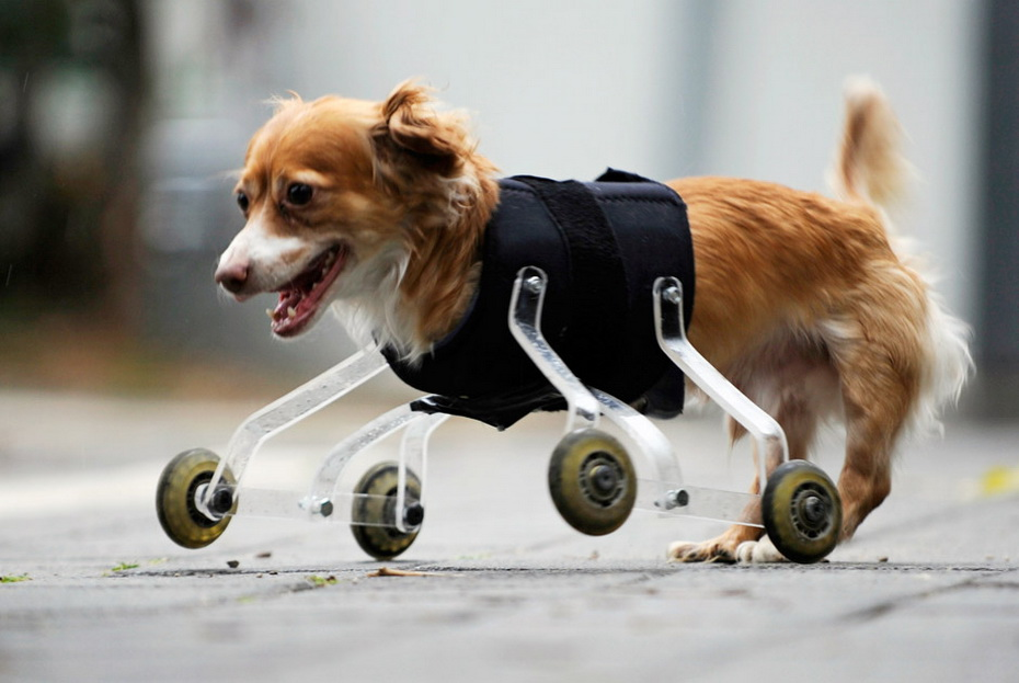 Собака инвалид картинка