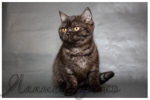 черная серебристая британская короткошерстная кошка