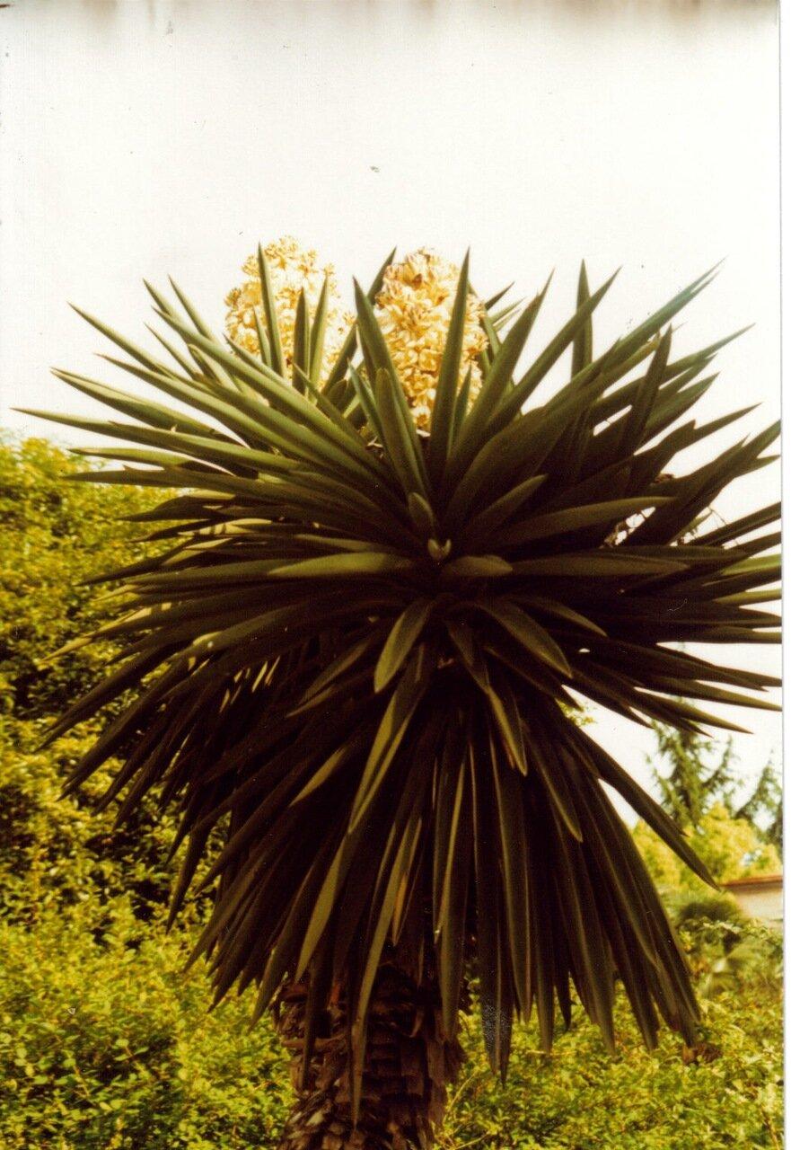 Пальма в цвету