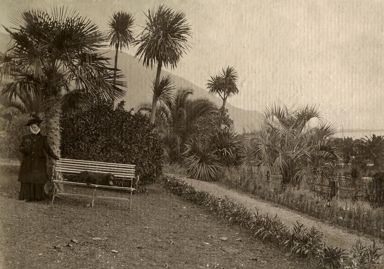 Гагры, 18 декабря 1910. Подле скамейки апельсинное дерево