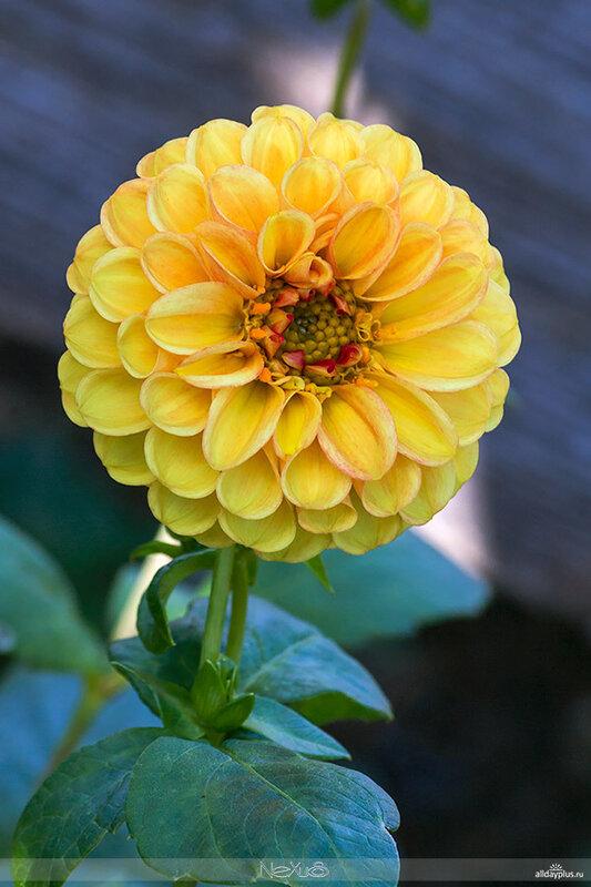 Я люблю все цветы, выпуск 75 | Георгин – король цветов.