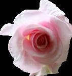 priss_laprimavera_rose.png
