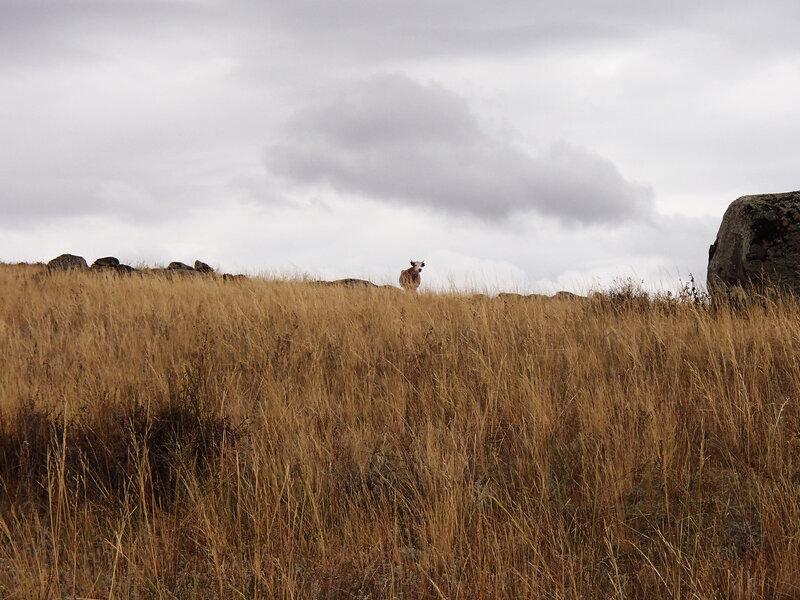 одинокая корова среди камней