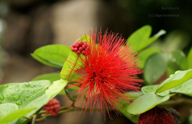 Каллиандра красноголовая (Calliandra haematocephala Hassk)