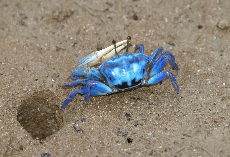 Голубой манящий краб (Uca sp.) возле своей норки