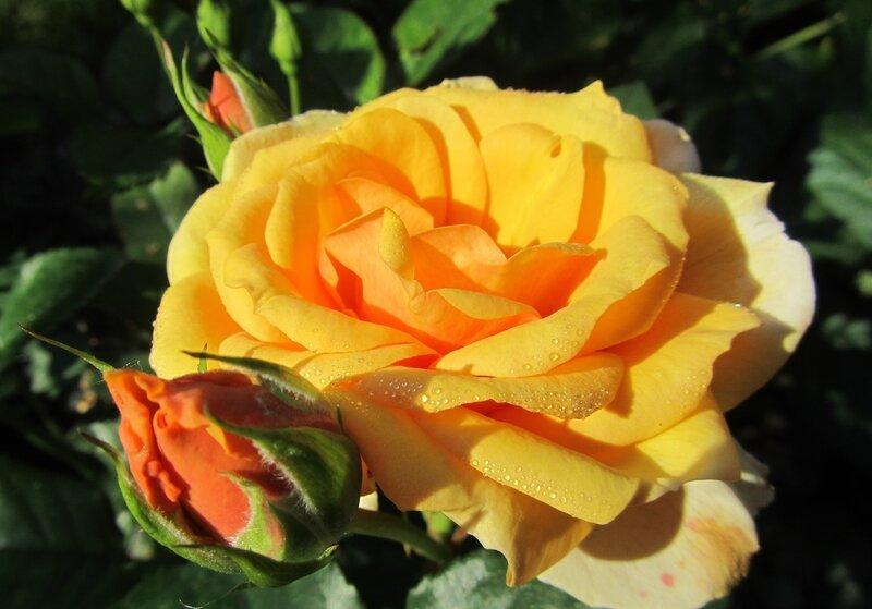 Казино роза плетистая уход