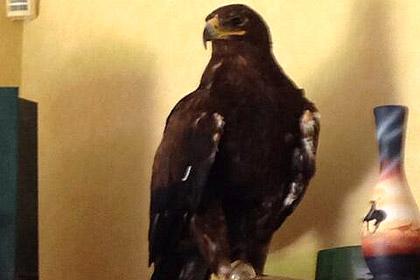 Степной орел залетел в дом к англичанке