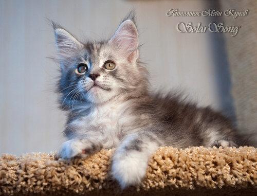 Кошка мейн-кун Зефирка