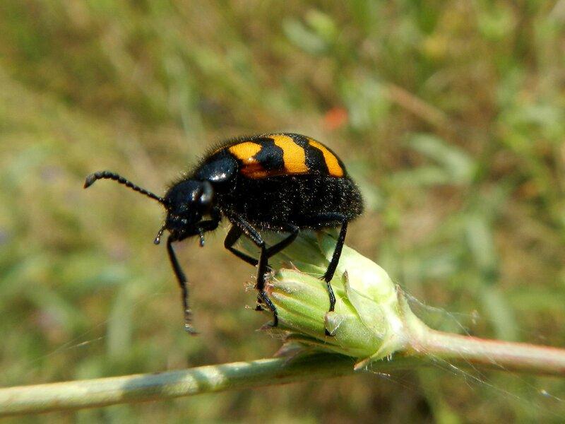 Жук-пестряк (пчеложук, Trichodes) или жук-могильщик